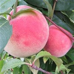 Prunus persica 'Fruteria' - salgshøjde: busk/lille træ 80-180 cm. - Fersken