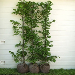 Carpinus betulus - Herkules Hæk - højde 170-190 cm. - Avnbøg