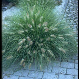 PENNISETUM alopecuroides 'Hameln' - Lampbortsgräs (MS)