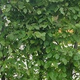 Carpinus betulus - Salgshøjde: 40-60 cm.  (Barrodet bundt m/25 stk) - Avnbøg