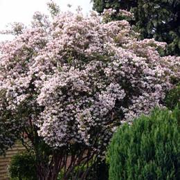 Kolkwitzia amabilis - Salgshøjde: 50-80 cm. - Dronningebusk (NP)