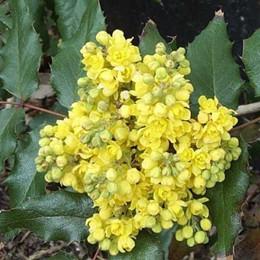Mahonia aquifolium 'Maqu', - Salgshøjde: 25-50 cm. - Mahonie (NP)