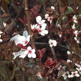 Prunus cistena - Salgshøjde: 30-50 cm. - Dværgblodblomme (NP-GC)