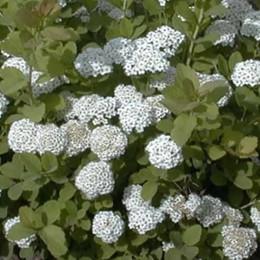 Spiraea betulifolia - Salgshøjde: 30-50 cm. - Birkebladet Spiræa (NP-GC)