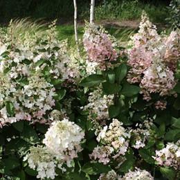 Hydrangea paniculata 'Pinky Winky' - salgshøjde 30-60 cm