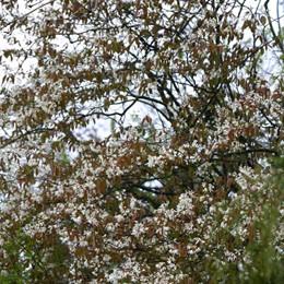 Amelanchier arborea 'Robin Hill' - Salgsstr.:  200-250 cm. - Bærmispel