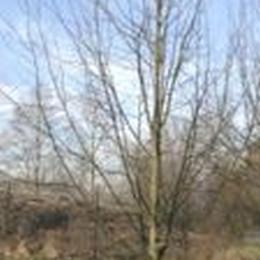 Tilia Vulgaris 'Pallida' - Salgsstr.:   10 - 12 - Kejserlind