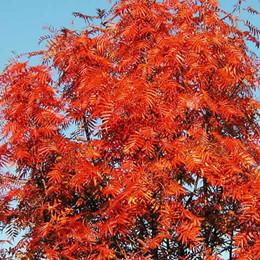 Sorbus 'Dodong' - Salgsstr.: 100-125 cm. - Koreansk Røn