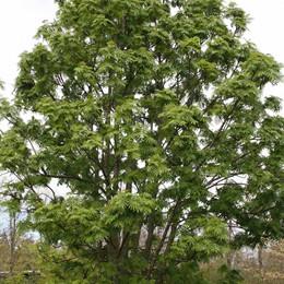Sorbus 'Dodong' - Salgsstr.: 150-200 cm. - Koreansk Røn