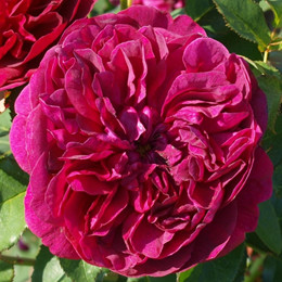 Rose 'Darcey Bussell' (engelsk rose) barrotad