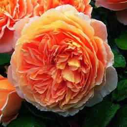 Rose 'Crown Princess Margaretha' (engelsk rose ) barrotad