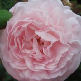 Rose 'Eglantyne' (engelsk rose) barrotad
