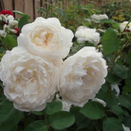 Rose 'Glamis Castle' (engelsk rose) barrotad