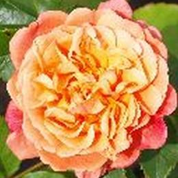 Rose Kordes' Rose Aloha (slyngrose)  , barrotad