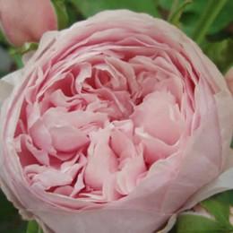 Rose Gertrude Jekyll (engelsk rose) , barrotad