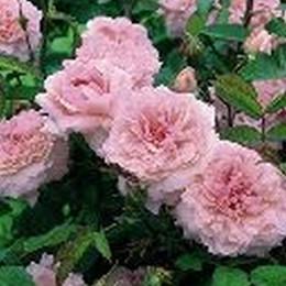 Rose The Mayflower (engelsk rose) , barrotad