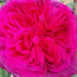 Rose William Shakespeare 2000 (engelsk rose) , barrotad