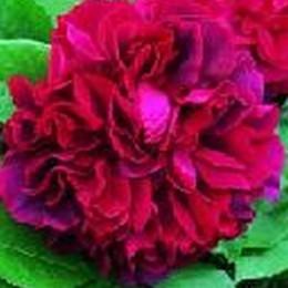 Rose The Dark Lady (engelsk rose) , barrotad