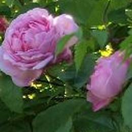 Rose 'Constance Spry' (engelsk rose,kan anvendes som slyngrose) barrotad