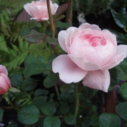 Rose Queen of Sweden (engelsk rose) , barrotad
