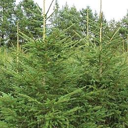 Picea abies - Salgshøjde: 30-50 cm.  (Barrodet bundt m/25 stk) - Rødgran