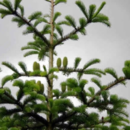 Abies nordmannia - Salgshøjde: 7-15 cm. (Barrodet bundt m/25 stk) - Normannsgran