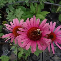 ECHINACEA purpurea 'Rubinstern' (Rudbeckia) - Solhat
