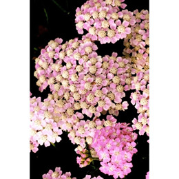 ACHILLEA millefolium 'Wonderful Wampee' - Røllike