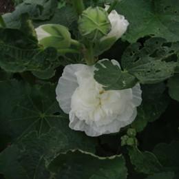 ALCEA rosea 'Pleniflora' Hvid (Althaea) - Stokrose