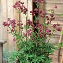 ASTRANTIA hybrid 'Star of Treassure'  ® - Stjerneskærm