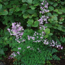 THALICTRUM delavayi (dipterocarpum) - Violruta