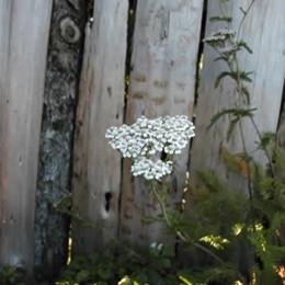 ACHILLEA millefolium 'Summer Pastels'- Röllika