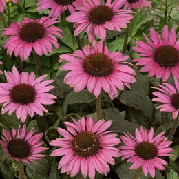 ECHINACEA purpurea 'Little Magnus' ® - Solhat
