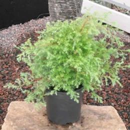 Chamaecyparis pisifera 'Squarrosa' - salgshøjde.:-30-40 cm. - Cypres