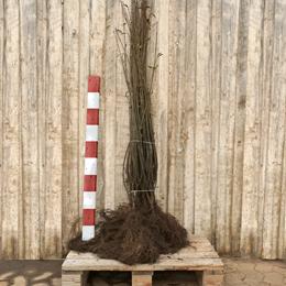 Ligustrum vulgare 'Liga' - Salgshøjde: 80-120 cm.  (Barrodet bundt m/25 stk) - Liguster