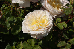 Rose Crocus Rose (Emanuel) (engelsk rose) , barrotad