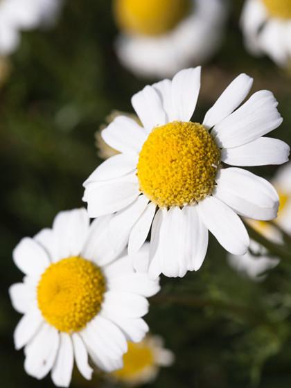 Kamille serien fra Klude i Natur