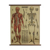 Mayol  Vintage Anatomy School Chart